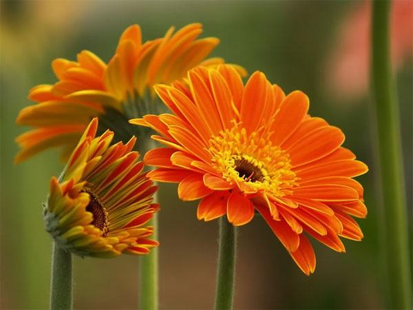 Những đóa oa màu cam e ấp làm duyên.
