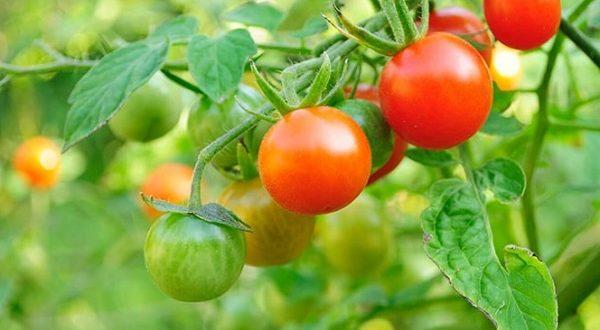 Cà chua là loại quả có vị chua nhẹ được dùng thường xuyên trong các món ăn.