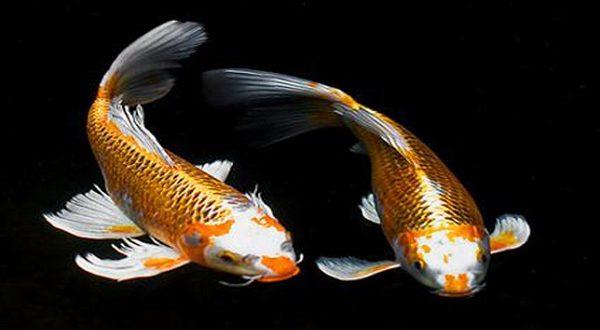 Cá chép cảnh là loài cá được ưa chuộng.