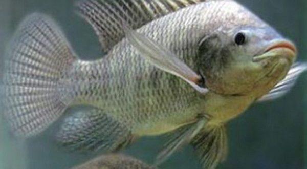 Cá rô phi sống khỏe mạnh ở nhiệt độ nước từ 25 – 30 độ C.