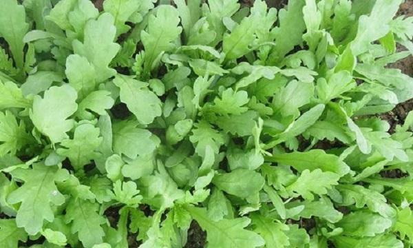 Cải cúc (rau tần ô) được trồng khá nhiều từ thành thị cho đến nông thôn.