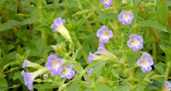 Hoa rau om có 5 cánh như hoa loa kèn.