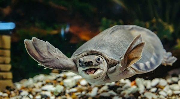 Rùa nước ngọt chân có màng bơi.