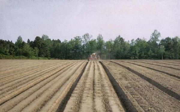 Làm đất, lên luống, vạch hàng để trồng đậu.
