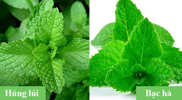 Hình ảnh 2 loại rau để mọi người dễ hình dung sự khác biệt.