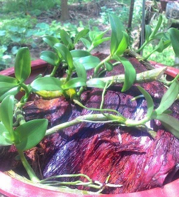 Nên dùng thuốc kích thích rễ để thúc đẩy quá trình nhân giống lan.